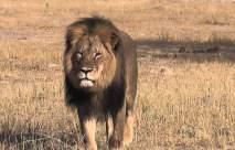Iconic Lion Slain by Dentist,  Moronic Human Killed byGator