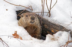 groundhog-in-snow-812159